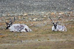 Svalbard reindeer (Rangifer tarandus platyrhynchus)